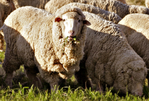 https://commons.wikimedia.org/wiki/File:Merino_sheep.png