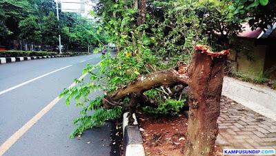 Pohon Kampus Undip Tumbang