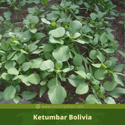 Ketumbar Bolivia
