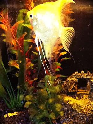 Scalare Ignatio pesce tropicale