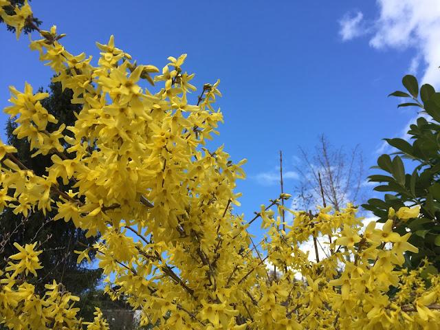 Forsythien am Blühen