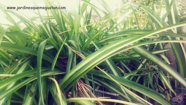 Cintas (Chlorophytum comosum)