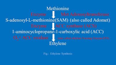 ethylene biosynthesis, ethylene hormone , ripening hormone, fruit ripening, flower senesence