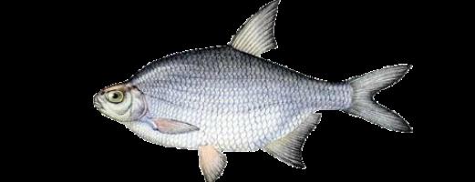 Виды речных и озерных рыб (Густера)