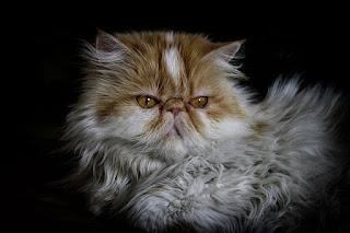 Jenis Kucing Persia yang Bagus di Indonesia