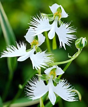 Flower Homes White Egret Flowers