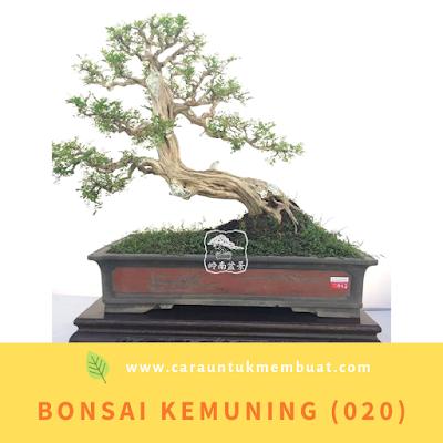 Bonsai Kemuning (020)