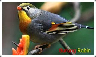 cara merawat burung robin