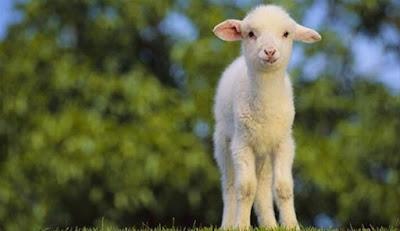 koyun-pletansasının-faydaları-nelerdir