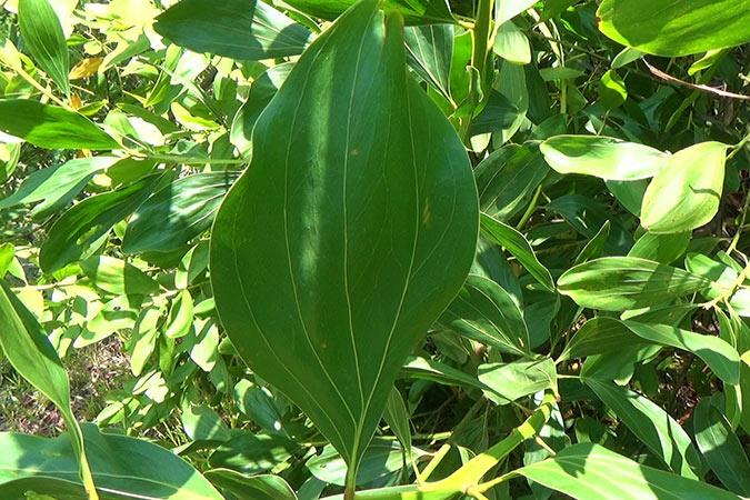 Dlium Big-leaved acacia (Acacia mangium)
