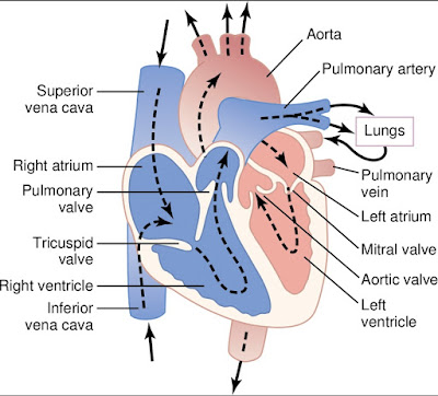The Blood Circulation in Heart, human heart, circulation, blood circulation,