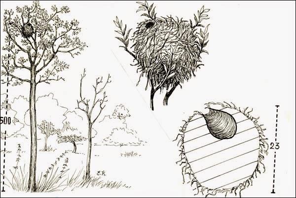 nidos de Anambé