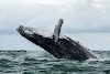 Baleia engole pescador nos EUA e depois o cospe vivo