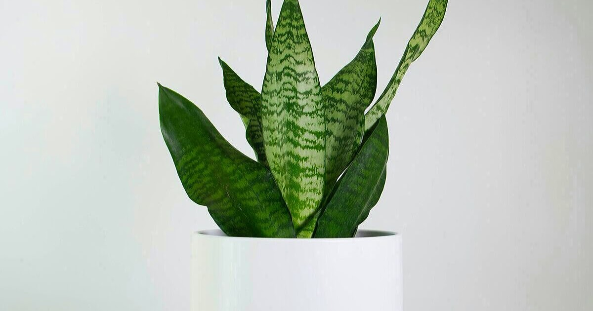 How To Grow Snake Plant In Pakistan Anonymous Enthusiast