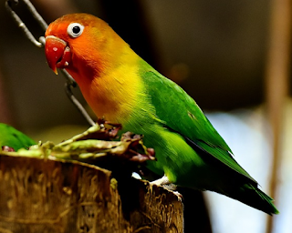 Cara Membuat Kandang Koloni Lovebird Biaya Kurang dari 500 rb