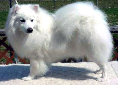 Cute Puppies And Dogs Pictures American Eskimo Dog