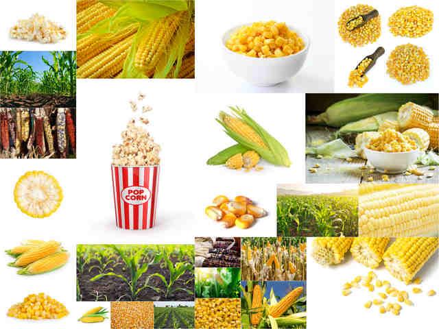تحميل 25 صورة بجودة عالية لنبات الذرة