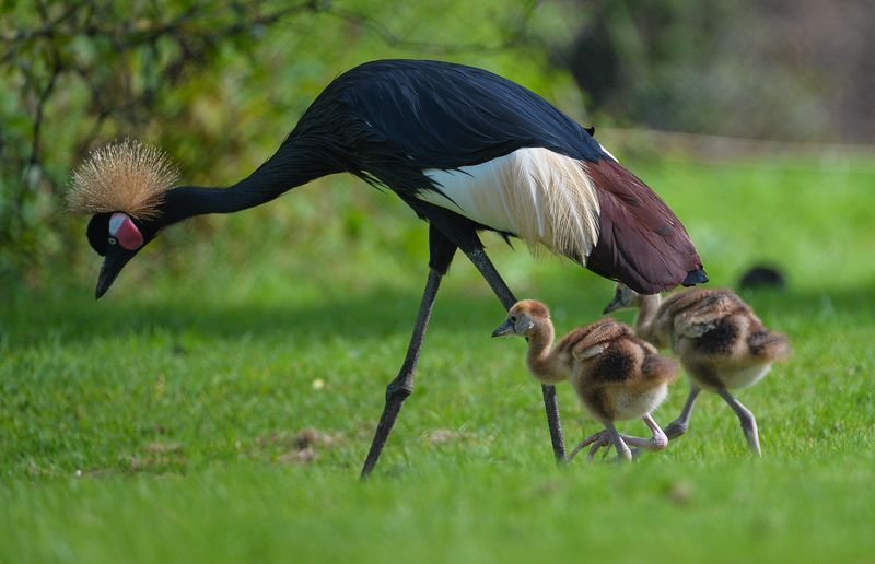 Baby Animals: Crane Chicks 1