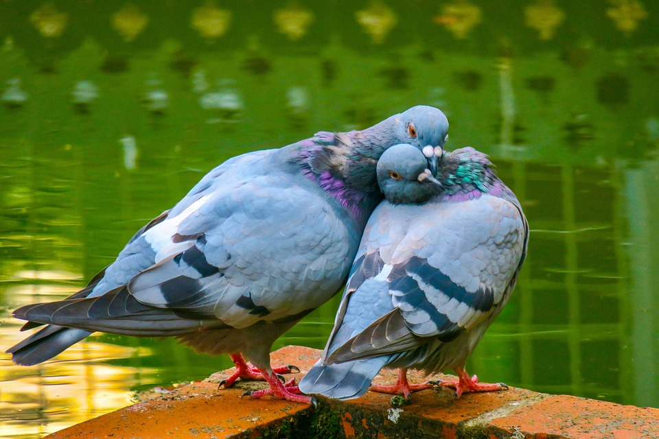 Dove(कबूतर) के बारे में 18 रोचक तथ्य - About Dove(Pigeon) Facts in Hindi