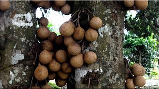 gambar buah kepel
