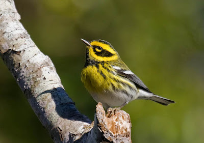 Photo of Townsend's Warbler on branch