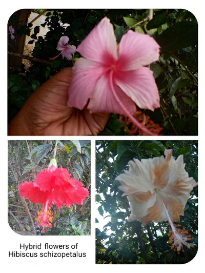 Hibiscus flowers in Rasiei town of Teluk Wondama