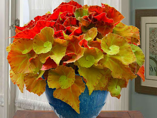 cara-merawat-tanaman-begonia.jpg