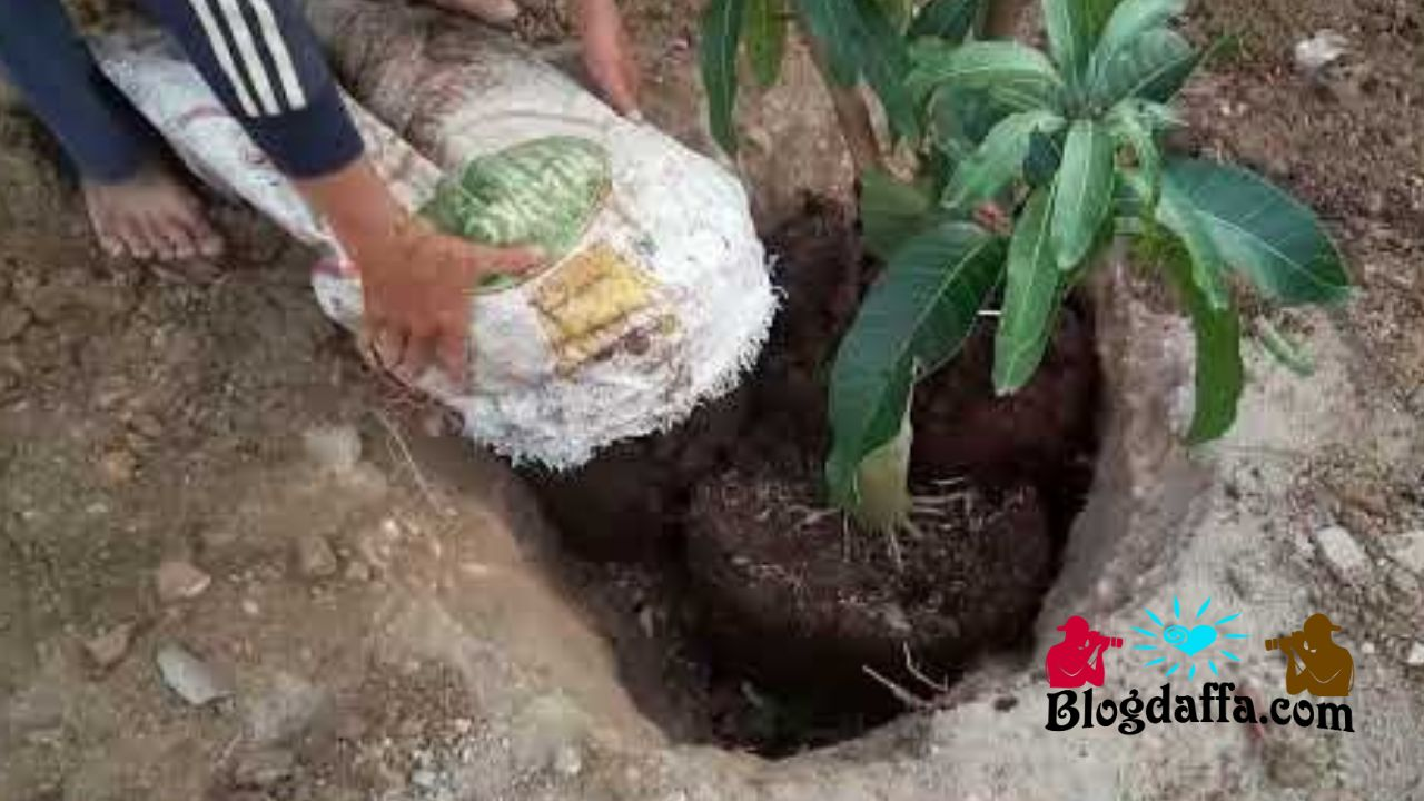 Proses penanaman pohon mangga