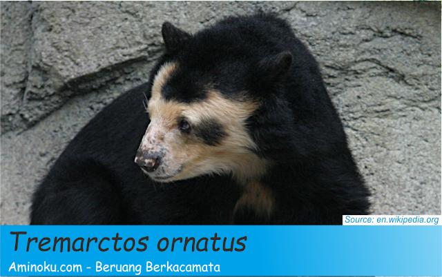 Fakta unik beruang berkacamata