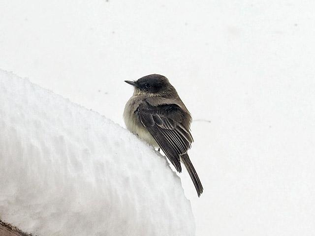 Eastern Pheobe snowstorm