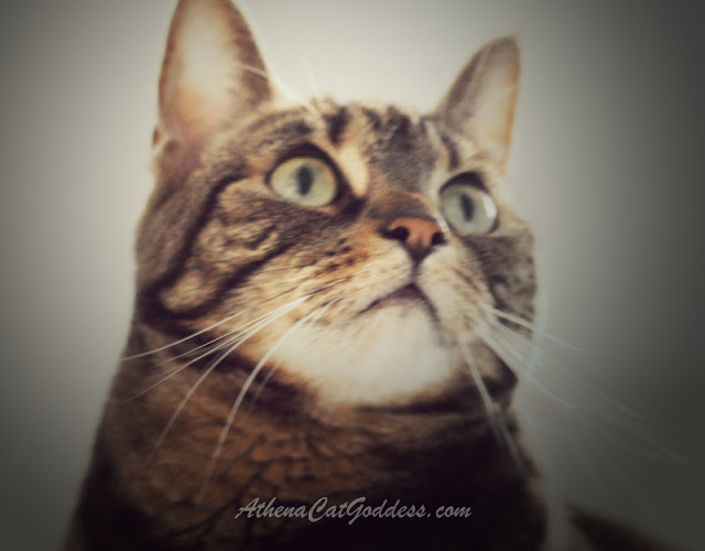 tabby cat gazing up