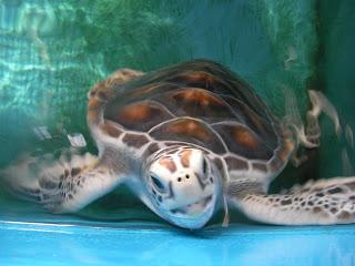 桶の中で無邪気に暴れるウミガメの子供
