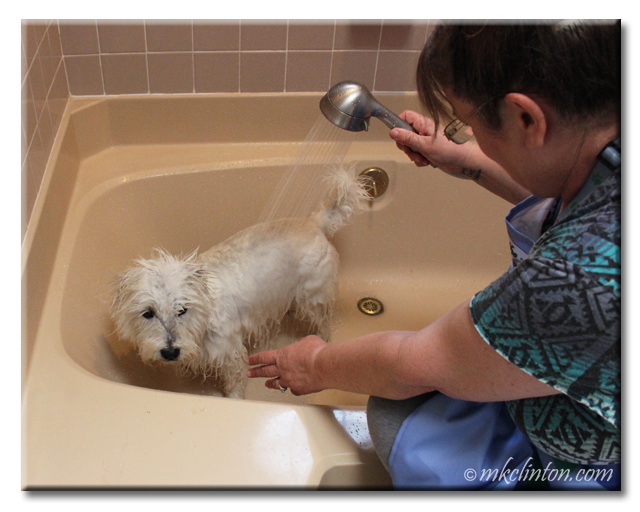 Westie getting sprayed with shower spout