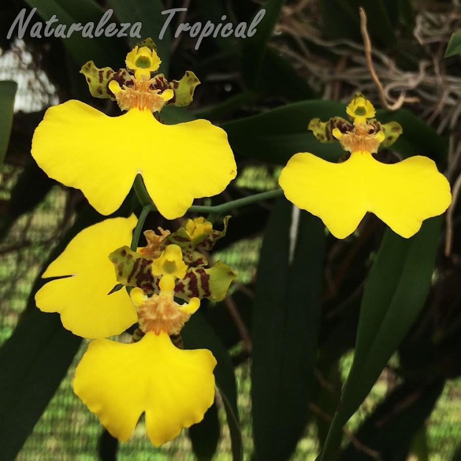 Flores características de la orquídea Patito, Gomesa bifolia
