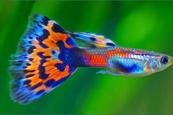 Cara Agar Ikan Guppy Cepat Beranak dan Tanda Akan Melahirkan