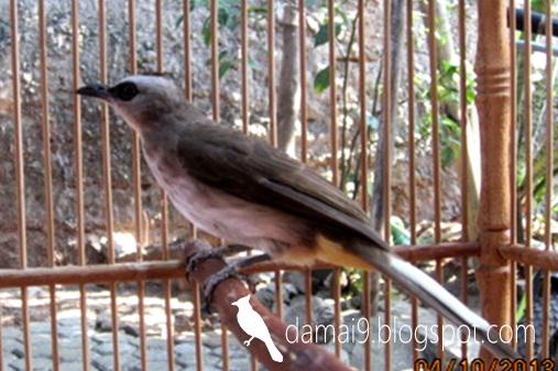 Burung Trucukan Manfaat Kenikmatan Merawat Dan Memilikinya Not Commercial Hobi Si Petani