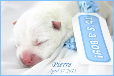 Pierre Westie's birth announcement