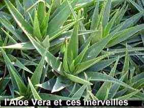 L'Aloès verra est un remède naturel universel