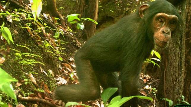 One of the rare bred of chimpanzee found in Nigerian forest