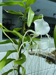 Angrec de Germiny - Angraecum germinyanum