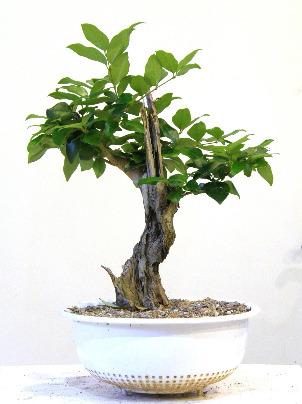 Heart Of Texas Bonsai Japanese Ligustrum With Withered Trunk