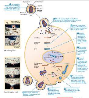 replikasi HIV, replikasi virus HIV, penyebab AIDS