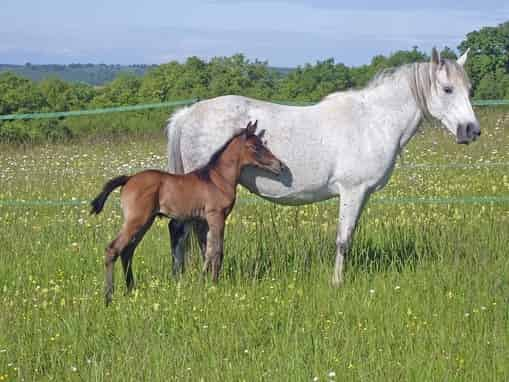 Horse breeding information