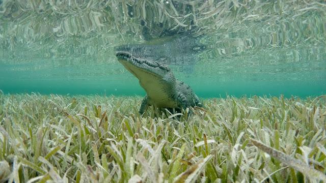 Crocodile observes target