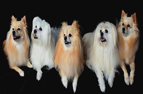 أسعار كلاب المالطي في مصر