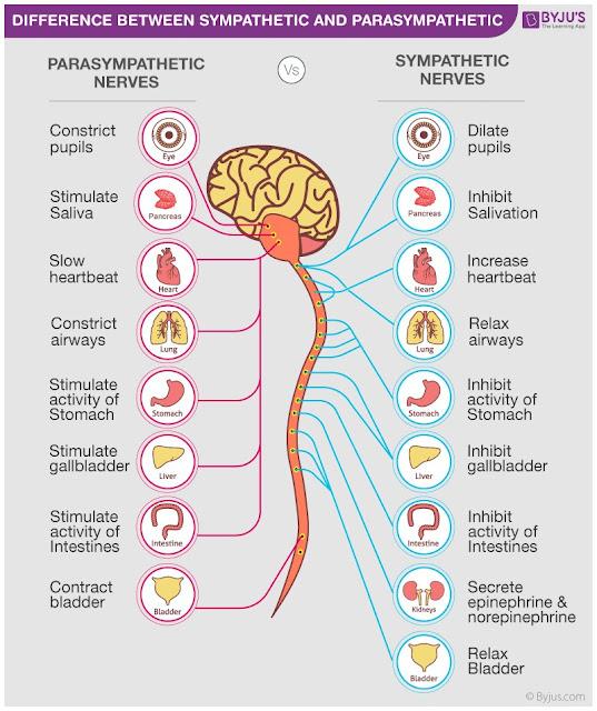 Perbedaan kerja saraf simpatis dan parasimpatis