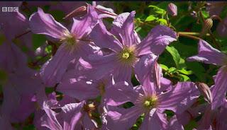 Summer flowering Clematis