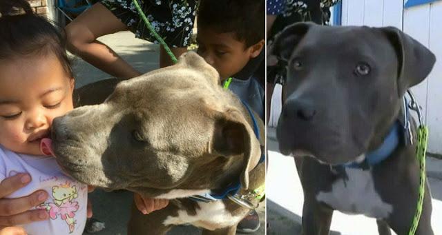 Питбуль схватил 7-месячного ребенка и вынес из комнаты. Хозяйка собаки не знает как отблагодарить пса!