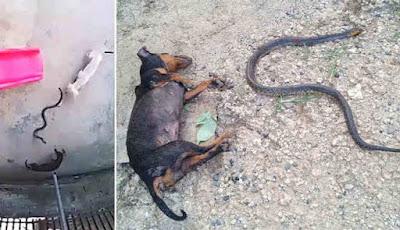 Anjing vs ular kobra