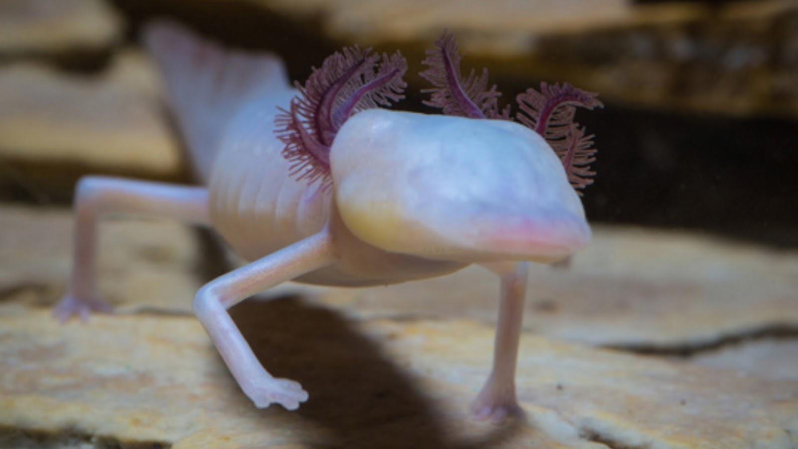 Mahasiswa dan Biologi: Texas Blind Salamander (Eurycea rathbuni)